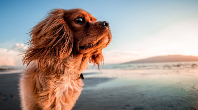 A light orange cavalier king charles spaniel dog. The dog is on a sunny beach looking at the surroundings.