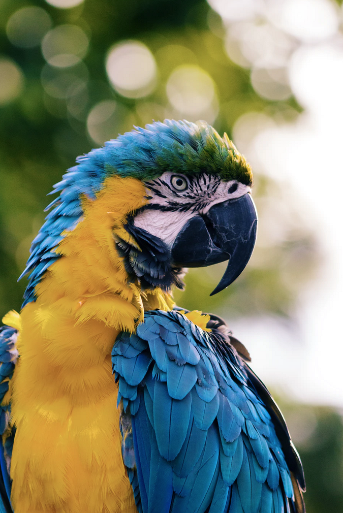a blue and yellow parrot bird