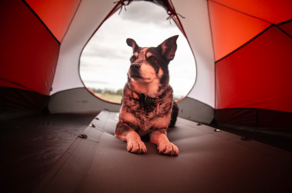 A black and white dog inside a tent
